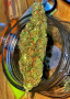 wide-variety-of-marijuana-strains-for-recreational-and-medicinal-use-small-0