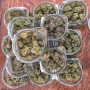 clean-healthy-ommp-medical-marijuana-clones-small-0