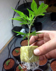 HEALTHY CLONES AND TEENS AVAILABLE, DONATION FOR CANADIAN PATIENTS TOO